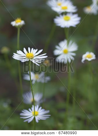 Australian Brachyscome White Daisy Like Widflower