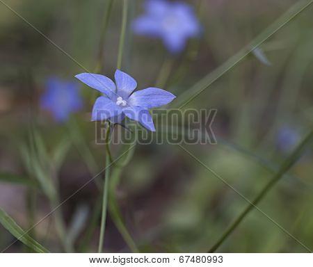 Australian Native Bluebell Wahlenbergia