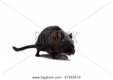 Black gerbil on white