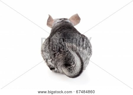 Chinchilla, focus on tail
