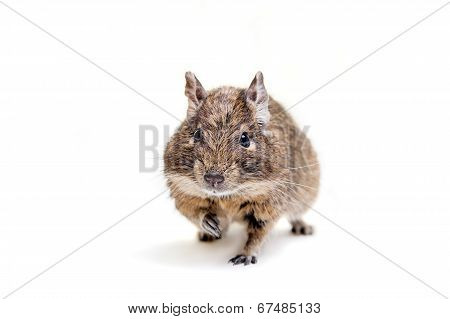 The Degu or Brush-Tailed Rat, on white