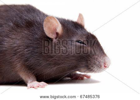 Rat, 3 year old on white