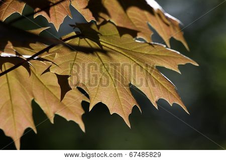 Golden Colored Maple Leaves