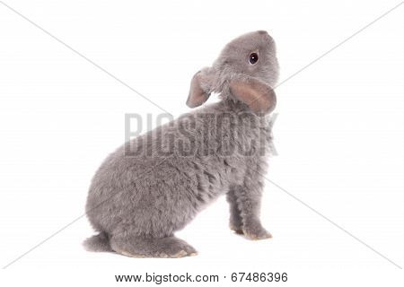 Grey lop-eared rabbit rex breed