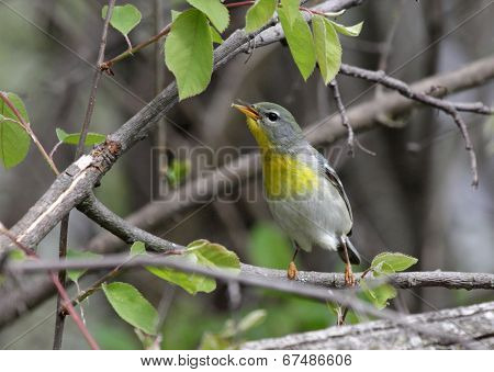 Female Northern Parula