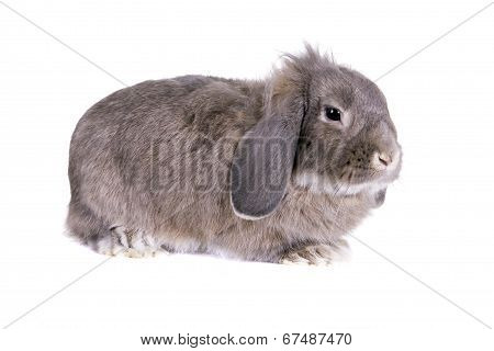 Lop-eared grey rabbit