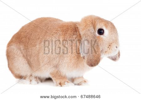 Rabbit Ram breed, red color