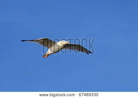 Larus Argentatus Over Blue Sky