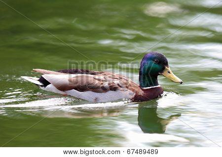 Wild Water Bird On Lake