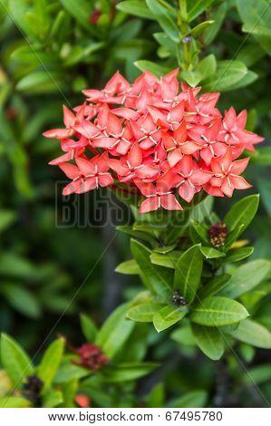 Orange Flowers Of Rubiaceae Tree (jungle Geranium ,ixora Coccinea)