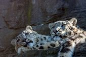 stock photo of snow-leopard  - snow leopard brothers laying in the sun