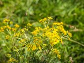 stock photo of ragweed  - Closeup of a yellow blooming Ragwort or Jacobaea vulgaris plant in its natural habitat on a sunny day in summertime - JPG