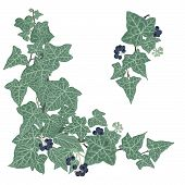 foto of english ivy  - Hand drawn vector illustration of intertwined ivy branches with lacy leaves and berries - JPG