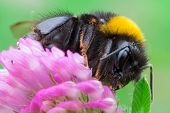 image of terrestrial animal  - macro photography of Bombus terrestris on flower