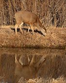 picture of mule deer  - A female Mule Deer feeding along a river - JPG