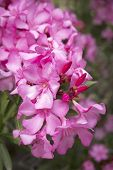 stock photo of oleander  - Blooming Oleander  - JPG