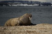 foto of shingles  - Walrus with half - JPG