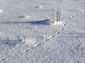 foto of firn  - Snowy field with dry grass and animal traces - JPG