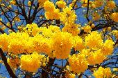 picture of trumpet flower  - Yellow flowers of tree Tabebuia aurea blue sky - JPG