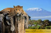 picture of kilimanjaro  - Leopard sitting on a tree on a background of Mount Kilimanjaro - JPG