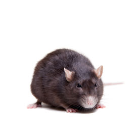 picture of rats  - Rat - JPG