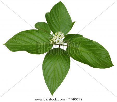 Alternate Leaved Dogwood
