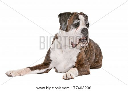 Boxer Dog In Front Of A White Background