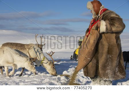 Unidentified Saami man feeds reindeers in harsh winter conditions