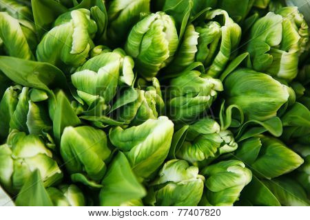 green tulips at the flowers wholesale market