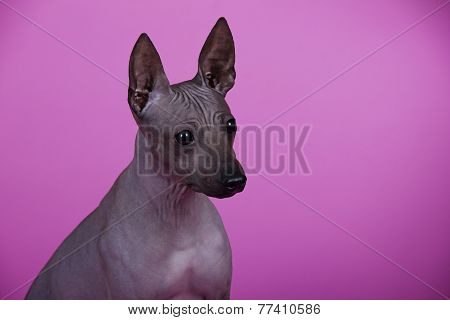 dog American naked Terrier