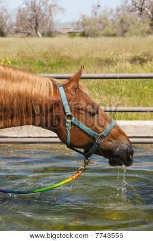 Saddlebred drinking