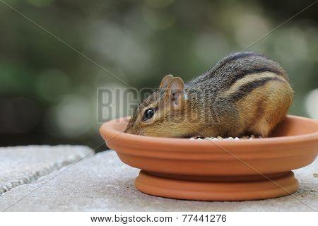 Chipmunk - In Dish