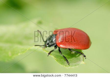 Beetle Poplar