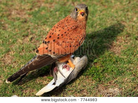 Blut auf der Schnabel, Kestrel mit Taube