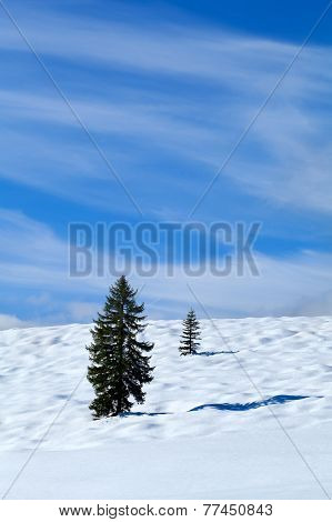 Spruce Tree On Snow Meadow Over Blue Sky