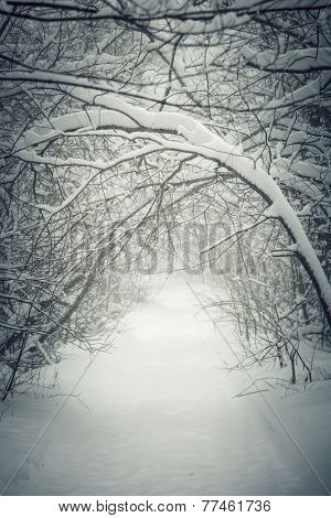 Snowy path through winter forest with overhanging heavy branches bending under snow and forming a tunnel. Ontario, Canada.