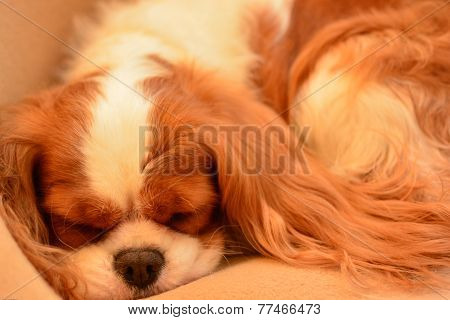 Cavalier King Charles Spaniel Napping
