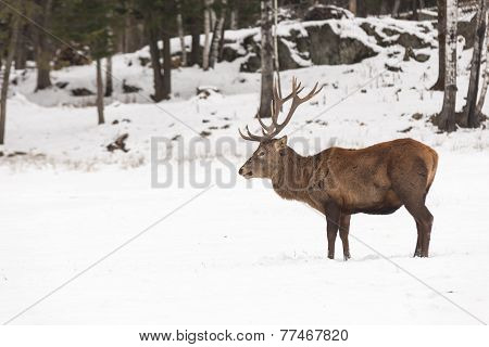 A large deer in a forest scene