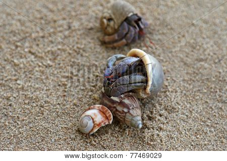 Closeup photo of Hermit Crabs on the sand