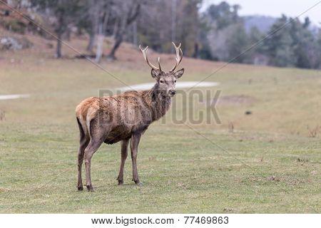 Large elk in a green, grassy field