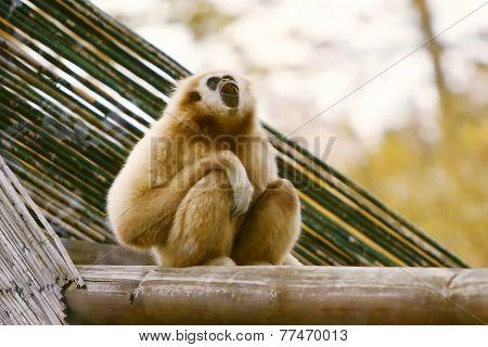 Gibbon On Wooden Beam