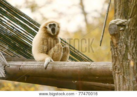 Gibbon Sitting On Wooden Beam