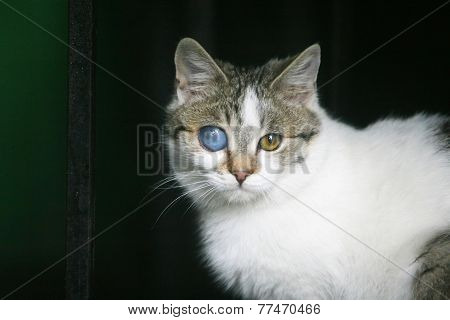 White And Grey Cat With Deformed Eye