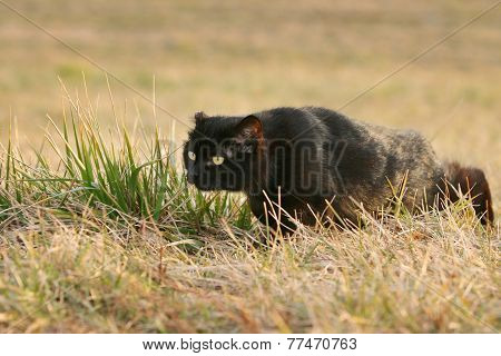 Black Cat Sneaking In Grass On Field