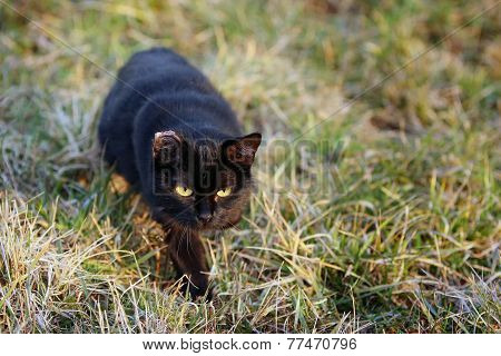 Black Cat Sneaking In Grass