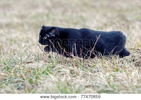 Black Cat With No Tail Sneaking In Grass