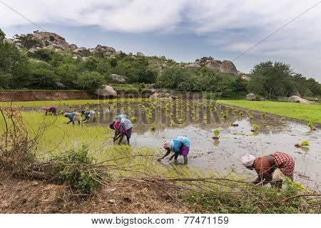 Seven Women Plant Rice Stalks In A Paddy.