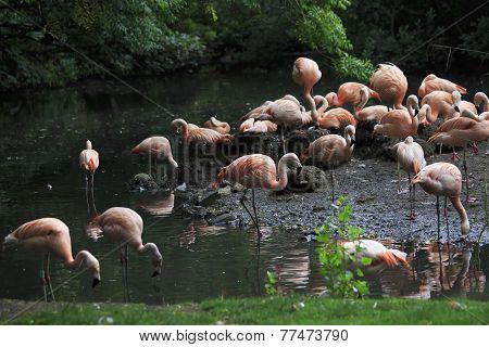 Chilean flamingo.