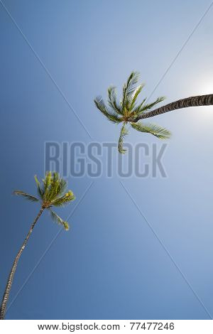 two Palm trees, low angle view against blue sky.