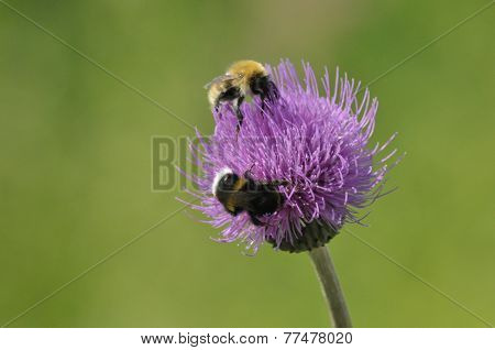 Bumblebee. GMO. Food In The Form Of Nectar. Moving Pollen.
